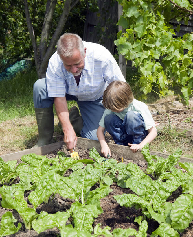 Young boy with grandfather gardening in community garden.
