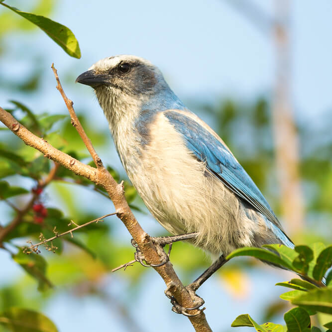 Endangered Florida Scrub-Jay perched on branch.