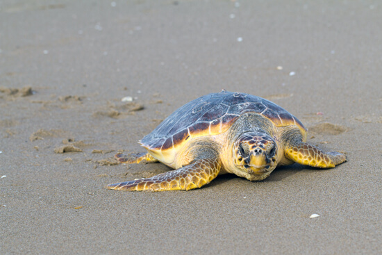 Endangered Loggerhead Sea Turtle lying on the sand.